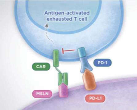 Antigen-activated exhausted T cell